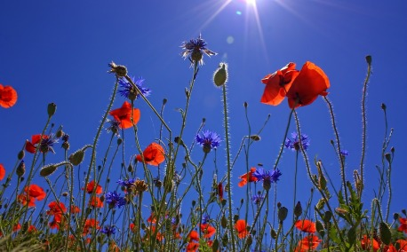 field-of-poppies-807871_1280
